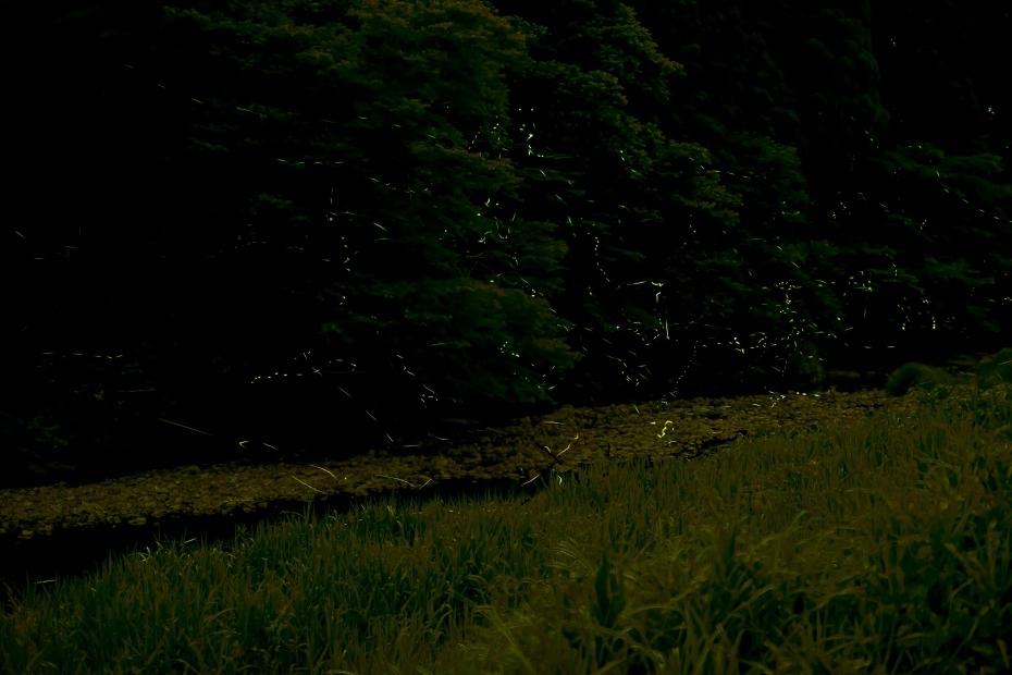 2015.06.25鳥越渡津の蛍3