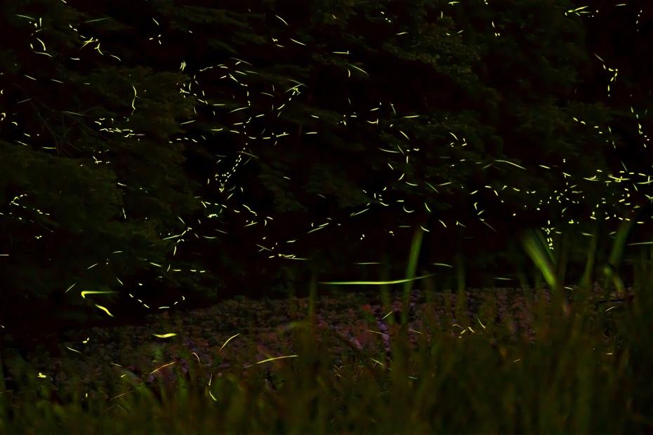 2015.06.25鳥越渡津の蛍2