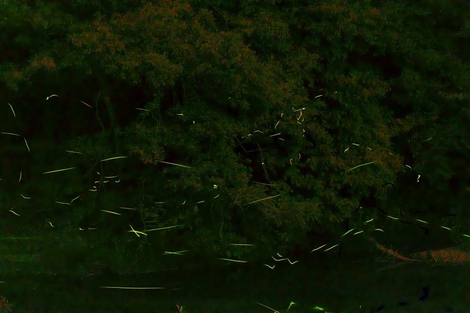 2015.06.25鳥越渡津の蛍1