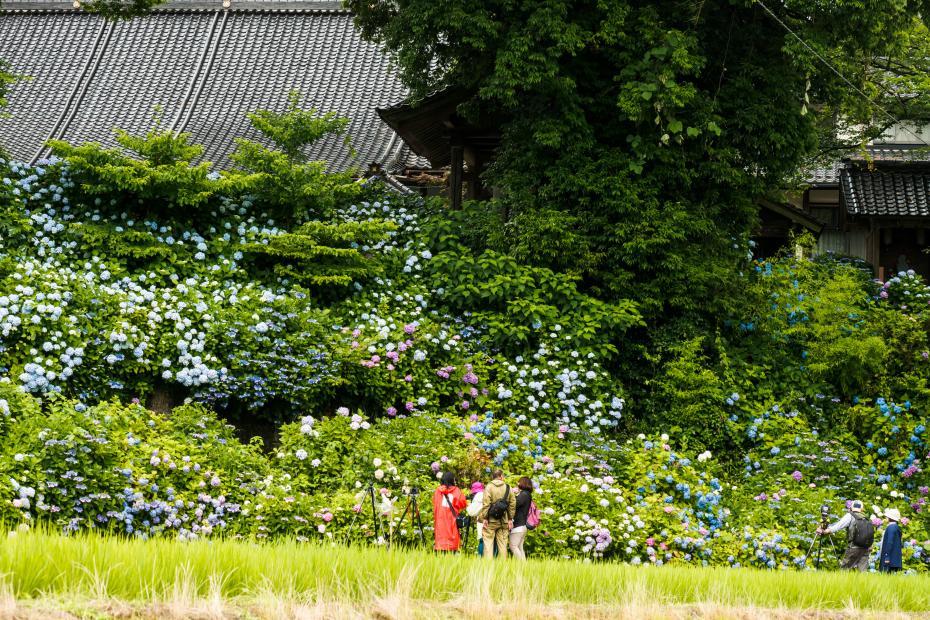 2015.06.28本興寺の紫陽花とアマガエル5