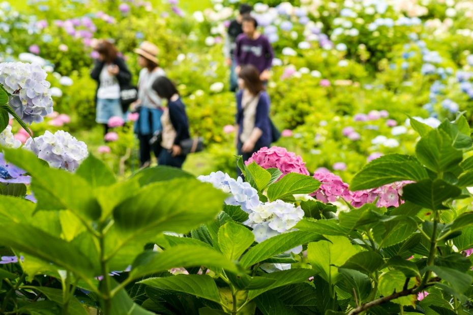 2015.06.28本興寺の紫陽花とアマガエル4