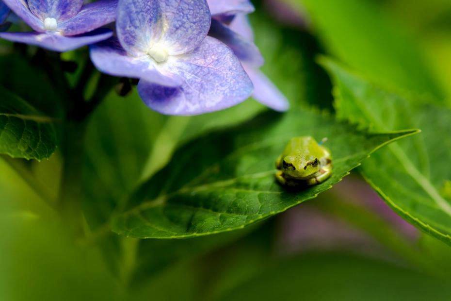 2015.06.28本興寺の紫陽花とアマガエル2