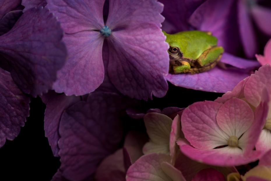 2015.06.28本興寺の紫陽花とアマガエル1