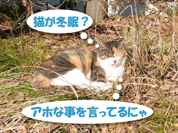 猫が冬眠?アホな事を言ってるにゃ