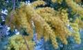 植物-安城マンジャパスタ-ミモザ-20150331-49