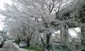 植物-岡崎八丁付近ガード下-桜並木-20150404-65