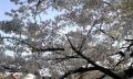植物-慈眼寺-桜-20150331-46