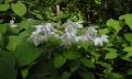 植物-卯の花-香嵐渓より-20150517-43