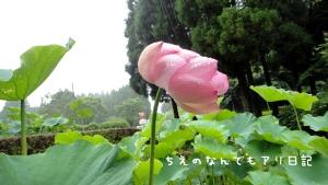 熊本県山鹿市 古代ハス公園 古代の森公園 古代蓮 蓮 睡蓮 紫陽花