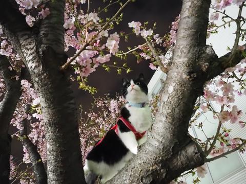 2015 04 03 静桜