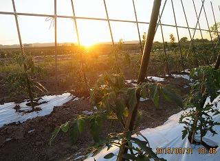 トマト畑から夕陽