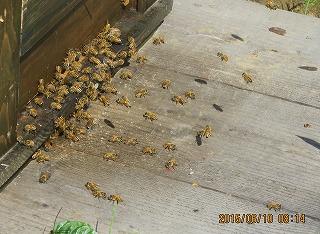 蜂は今から