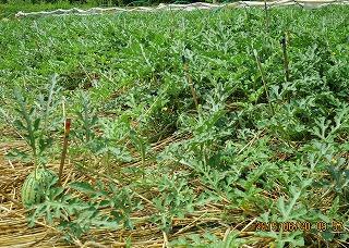 西瓜畑・2