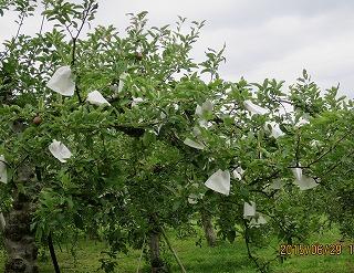 リンゴ袋採用