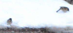 002雪の上の雀