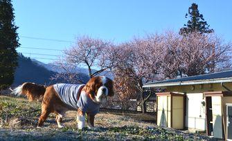 002魯桃桜