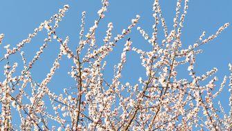 005魯桃桜1
