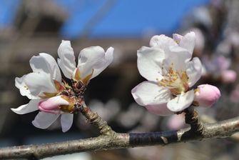 001魯桃桜