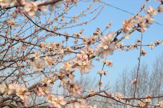 005魯桃桜