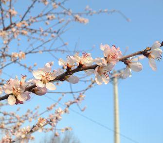 006魯桃桜