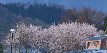 012魯桃桜