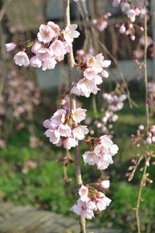 005しだれ桜