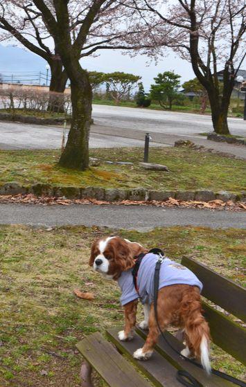 010バラ公園桜