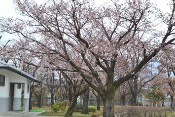 017バラ公園桜