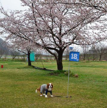 001緑地公園桜