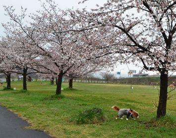 004緑地公園桜