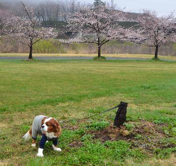 009緑地公園桜