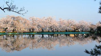 030臥竜公園桜2