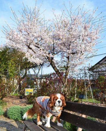 002バラ公園桜1