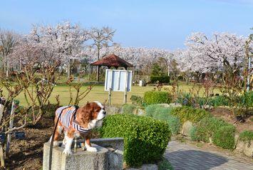 005バラ公園桜2