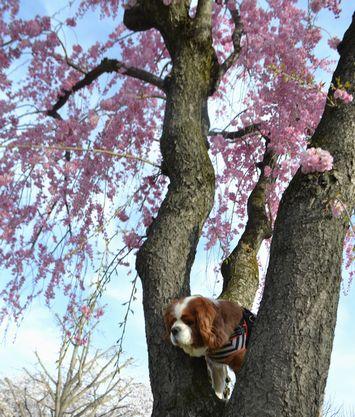 008バラ公園桜