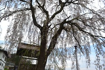 006寺しだれ桜