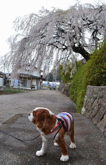 007寺しだれ桜