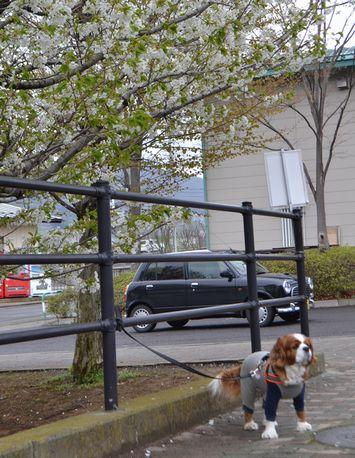 001葉桜1