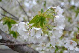 003葉桜