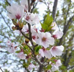 0029分葉桜