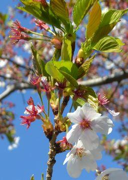 0059分葉桜