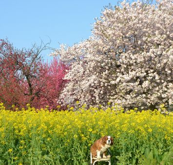 005花桃・桜・菜の花