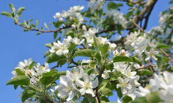 006りんごの花