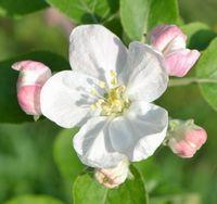 008りんごの花