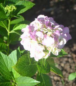 015紫陽花
