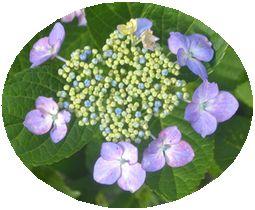 008ガク紫陽花