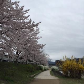 桜加茂川1