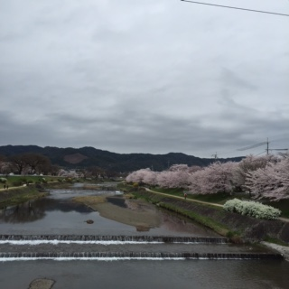 桜加茂川3