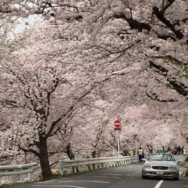 上賀茂橋から桜