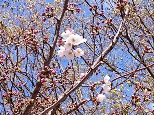 ポツリポツリと咲く桜